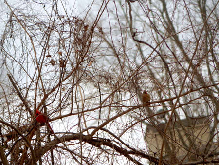 migrated: Branch Resting Male Cardinal Stock Photo