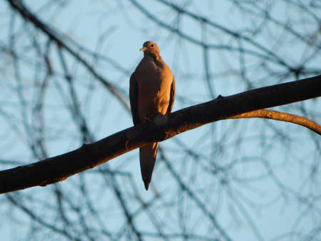 Sundown Mourning Dove