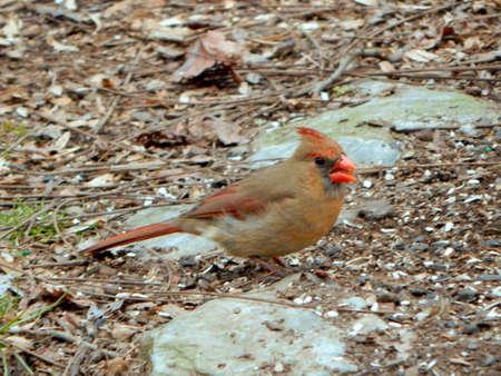 Mrs. Cardinal Singing Reklamní fotografie - 81337616