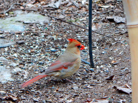 flocking: Mrs. Cardinal With a Seed Stock Photo