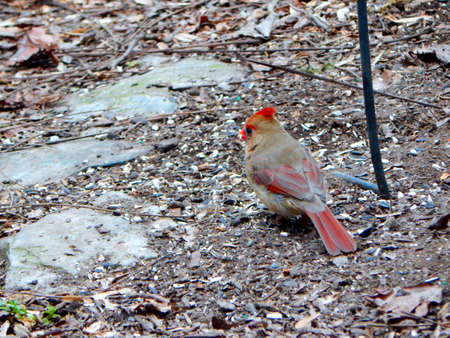migrated: Female Cardinal in the Garden