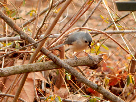 migrated: Cute Little Titmouse
