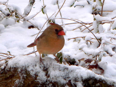 dona: Female Snow Cardinal