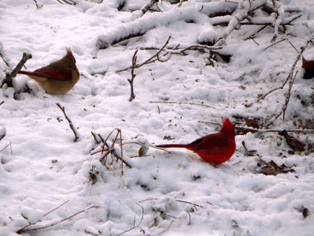 migrated: Mr. & Mrs. Cardinal
