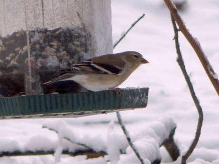 Beautiful Snow Sparrow