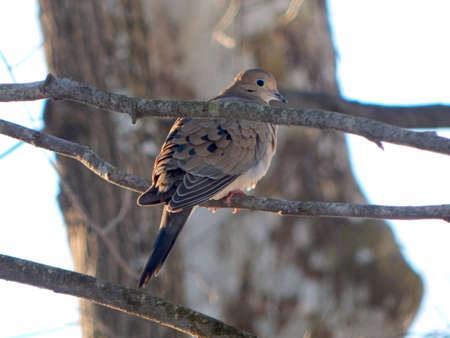 Mourning Dove at Dusk
