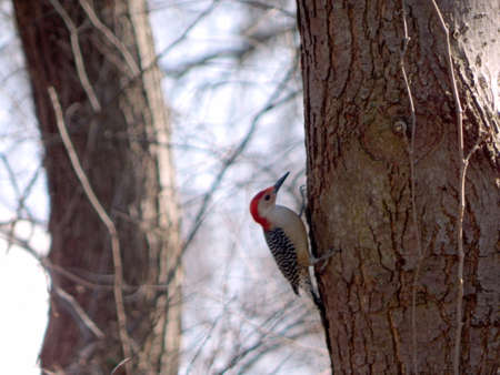 Red-Bellied Woodpecker Drilling