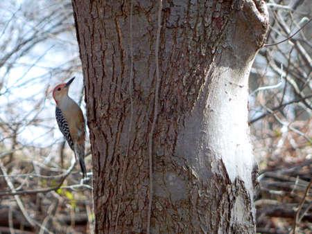 Alert Red-Bellied Woodpecker