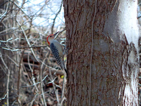migrated: Red-Bellied Woodpecker Profiling