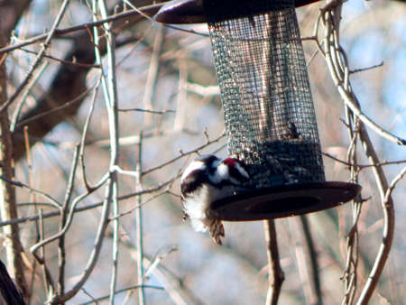 Red-Capped Downy Woodpecker