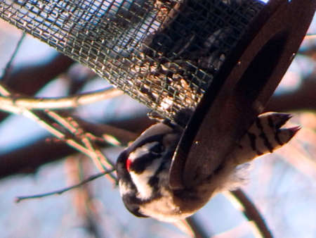 Downy Woodpecker in Feeder Stock Photo