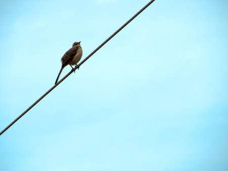 Songbird on a Wire