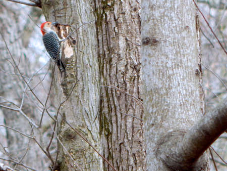 Bug Hunting Red-Bellied Woodpecker