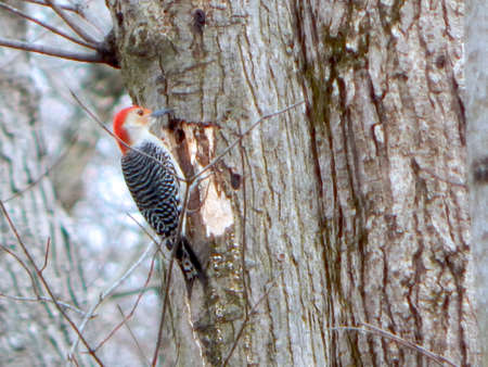 migrated: Drilling Red-Bellied Woodpecker Stock Photo