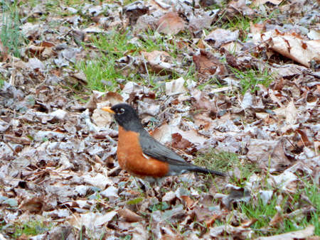 flocking: Red-Breasted Robin Stock Photo