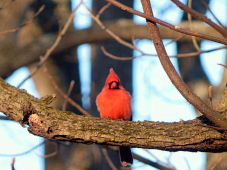 Colorful Perched Cardinal