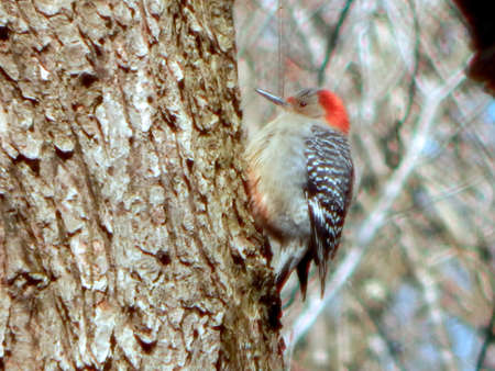 Young Red-Bellied Woodpecker Stock Photo