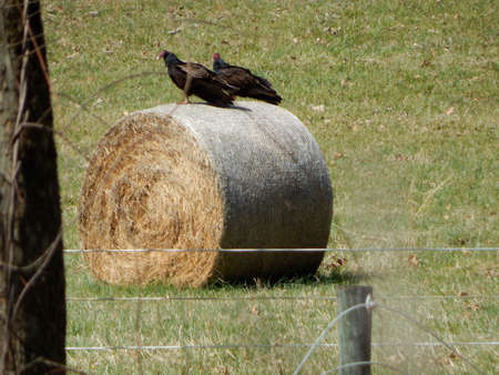 migrated: Buzzards on a Hay Bale