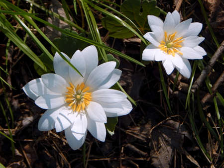 Sun-Kissed Bloodroot Stock Photo