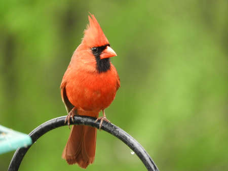 Perched Northeastern Male Cardinal Stock Photo