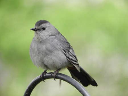 Watchful Cat Bird