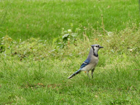 Northeastern Blue Jay