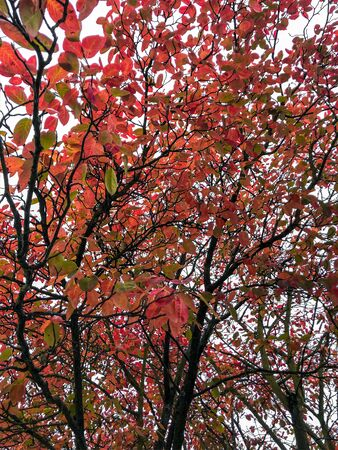 Red and yellowish green leaves and branches during autumn or fall with white background isolated Banco de Imagens