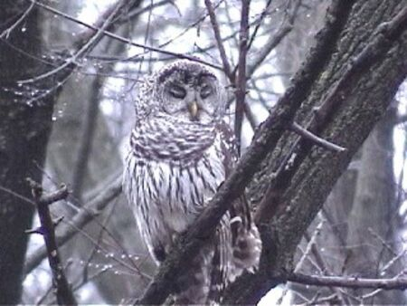 barred: Barred Owl