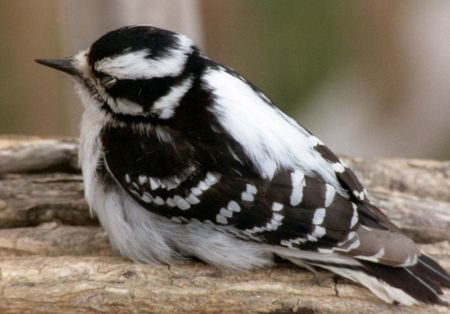 downy: Downy Woodpecker Napping Stock Photo