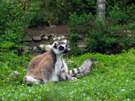 Lemur Catta with her baby photo