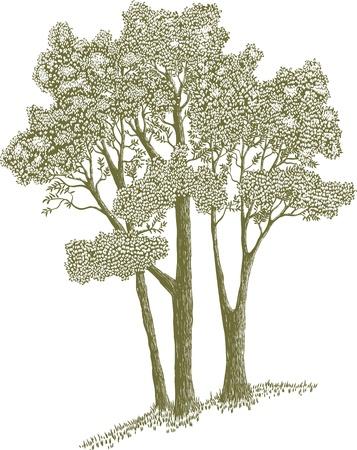 Houtsnede stijl illustratie van een stand van bomen. Stock Illustratie