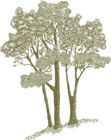 Woodcut style illustration of a stand of trees.