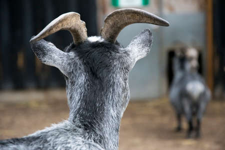 another: A back view of a goat looking at another goat in the background Stock Photo