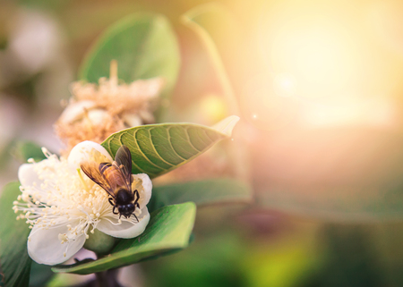 domestic garden: Close-up of a Honey Bee sitting on a white flower in a domestic garden.