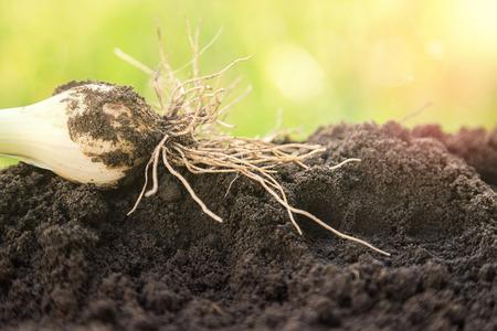 raices de plantas: Vista de primer plano de las plántulas de cebolla con las raíces jóvenes con enfoque selectivo