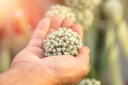 onion flowers: Allium onion flowers hold in hand, vertical composition Stock Photo