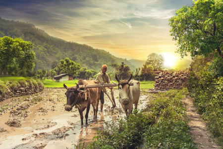 Indian farmer plowing rice fields with a pair of oxen using traditional plough at sunrise. Stock Photo