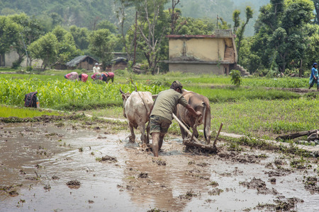 Rice farmer working rice field, rice paddy with two oxen and a wooden plough