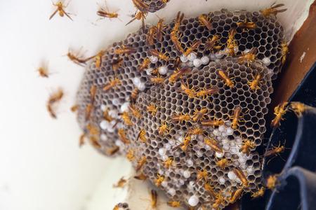 Wasps on nest built on window shutters