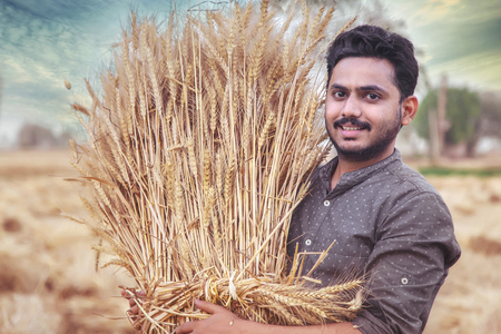 Young Indian farmer holding harvested golden wheat crops on his shoulder Archivio Fotografico