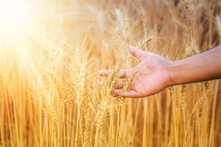 Hand of a farmer caressing wheat field in haryana, India
