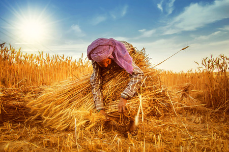 An old indian woman Farmer collecting bundles of wheat stalk ; Haryana ; India Archivio Fotografico