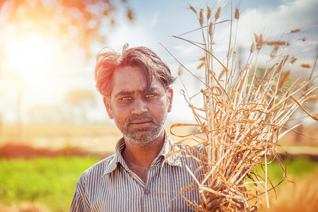 An Indian man holds a freshly harvested bundle of wheat on his shoulder, Haryana, India