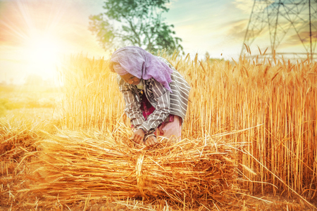 An old indian woman collecting and tying a bundle of ripe wheat stalk in the field ; Haryana ; India Stock Photo