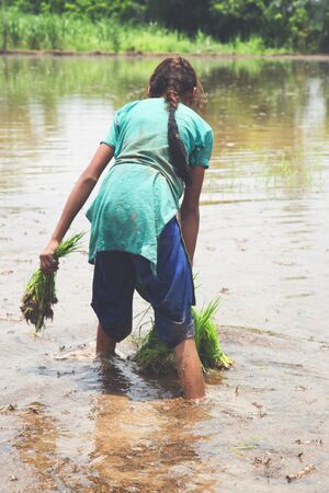 Young Indian girl farmer holds rice saplings as she walks ankle deep in the rice paddy field