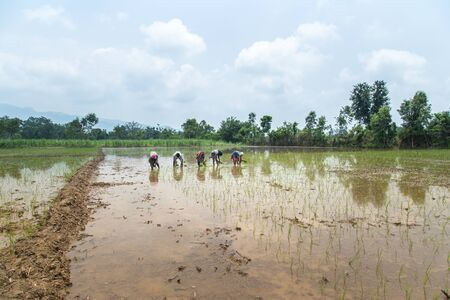 Group of Farmers Preparing to transplanting rice seedlings or young rice plants in a paddy field Imagens