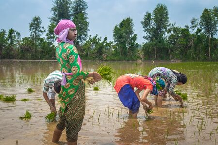 Group of Farmers Preparing to transplanting rice seedlings or young rice plants in a paddy field Stock Photo
