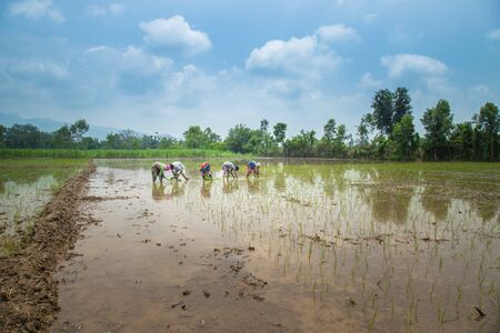Group of Farmers Preparing to transplanting rice seedlings or young rice plants in a paddy field