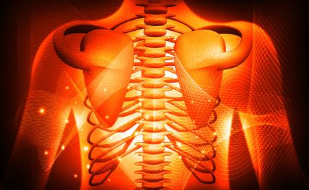 3d human rib medical anatomy