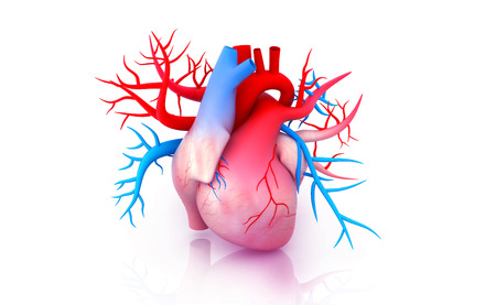 Human heart anatomy. 3d illustration